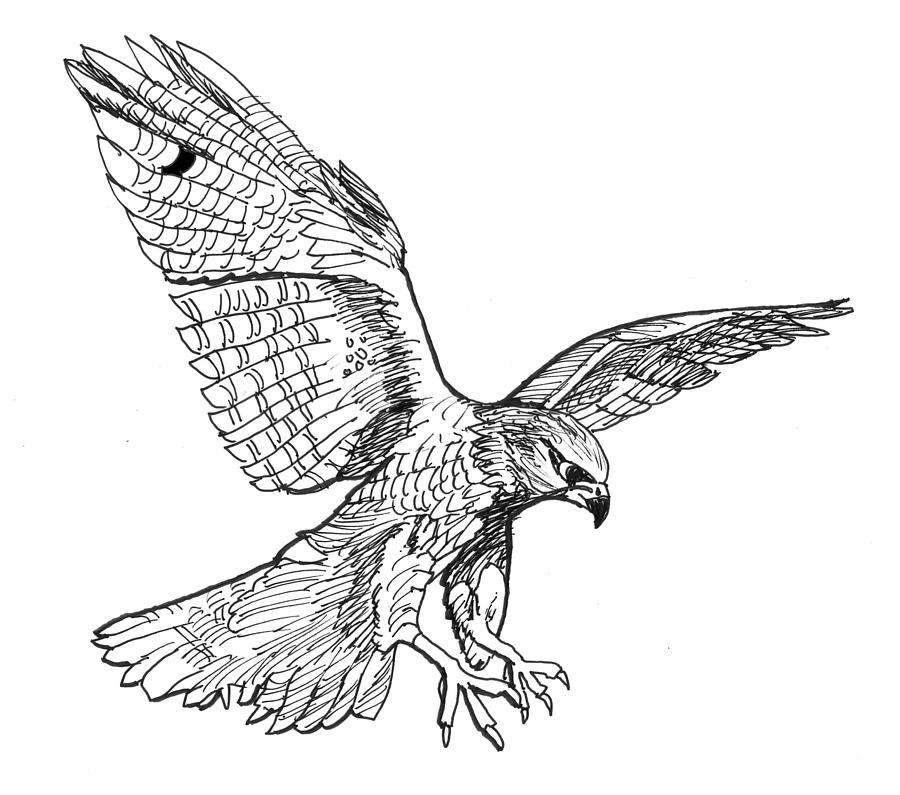 Drawn falcon Falcons Falcon Falcon