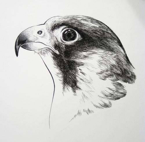 Drawn falcon Drawing Drawing Bird photo#9 Falcon