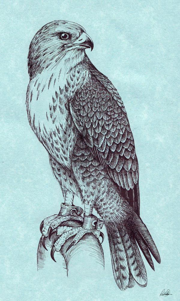 Drawn falcon Drawing Pencil Drawing Images Art