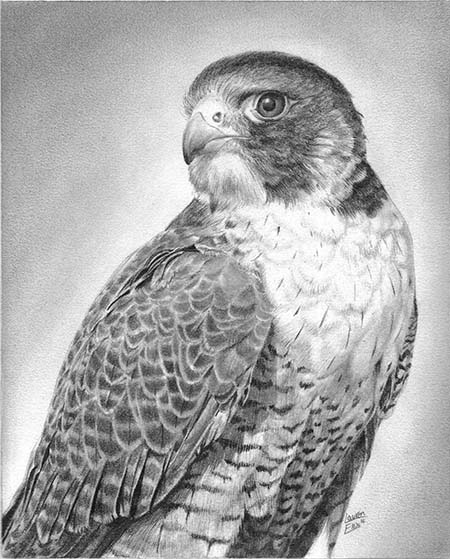 Drawn falcon Image Art Pencil Drawing Realistic