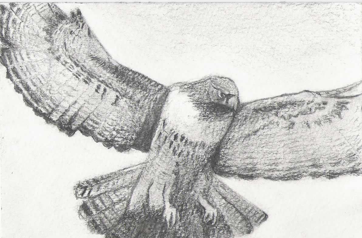 Drawn falcon Draw Peregrine Falcon Drawing D