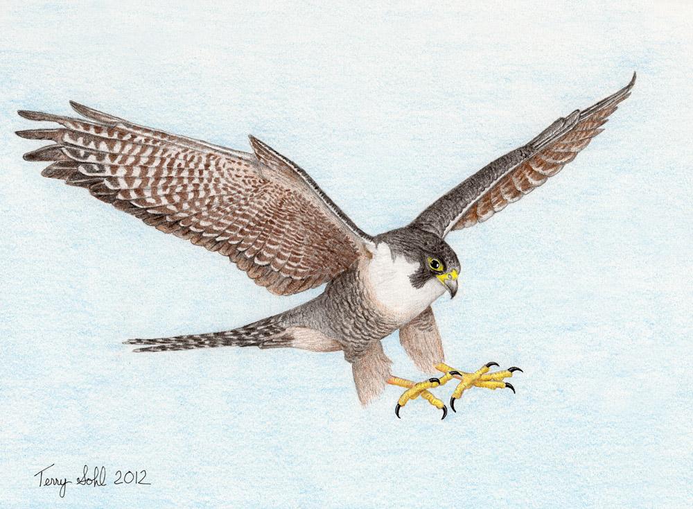 Drawn falcon Coloring Sketch Sketch Peregrine Falcon