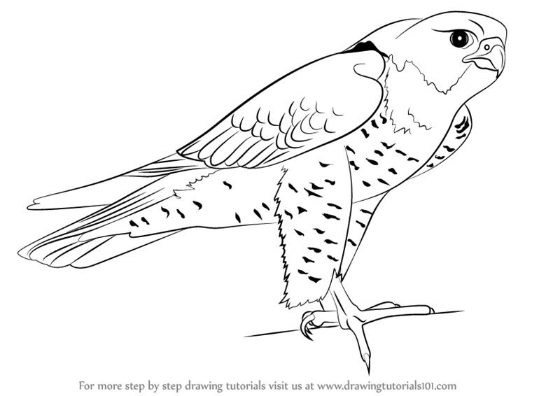 Drawn falcon To Step to prey) :