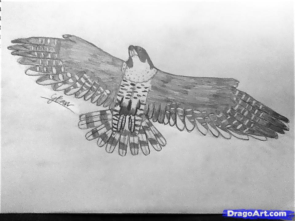 Drawn falcon easy By  Falcon How peregrine