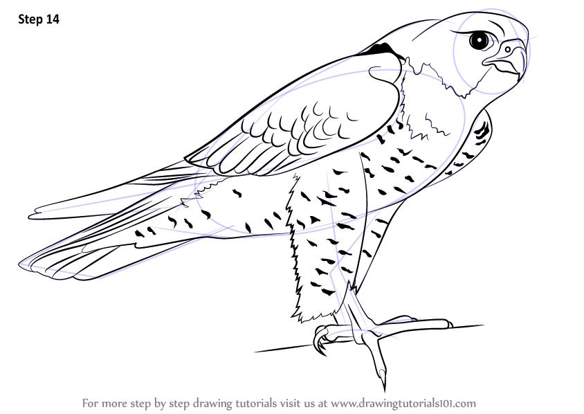Drawn falcon easy (Bird Step Peregrine Learn to