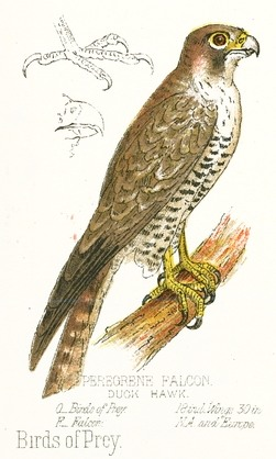 Drawn brds perched bird Drawing Peregrine color bird full