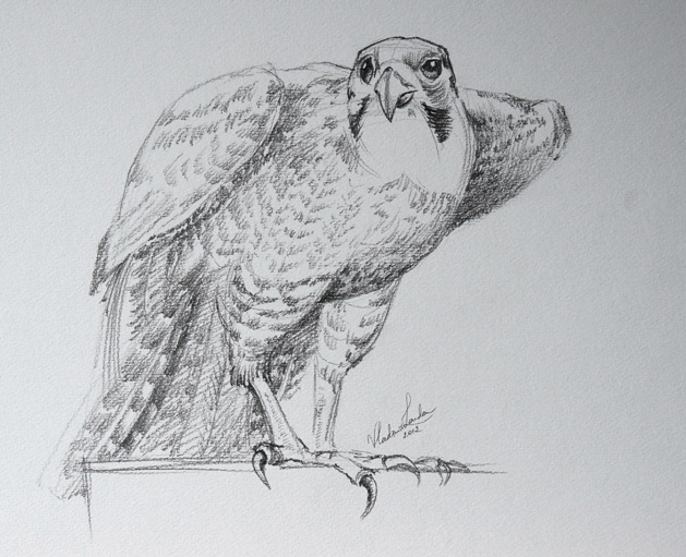 Drawn falcon falcon wing A Drawing Video Academy Drawing