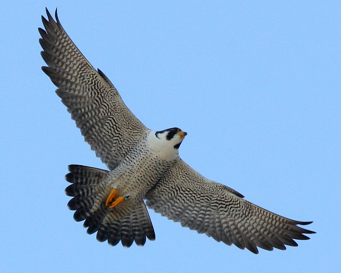 Peregrine Falcon clipart flight drawing Flying flying falcon Falcon Peregrine