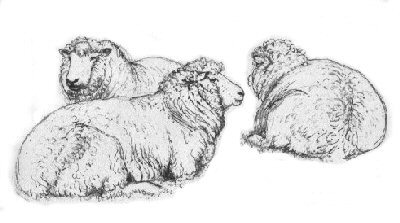 Drawn sheep pencil drawing Animals of Tunnicliffe Farm