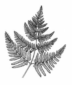 Drawn fern #4