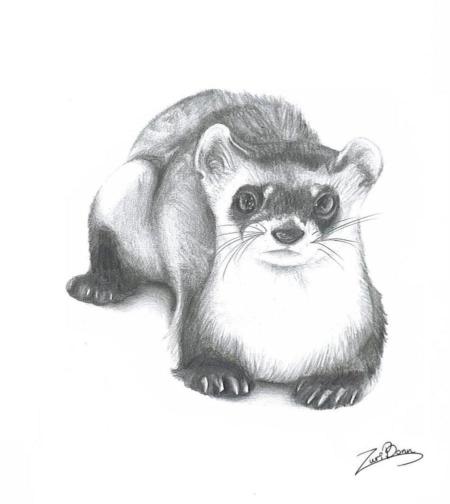 Drawn ferret Wolfeiz Ferret wolfeiz by by