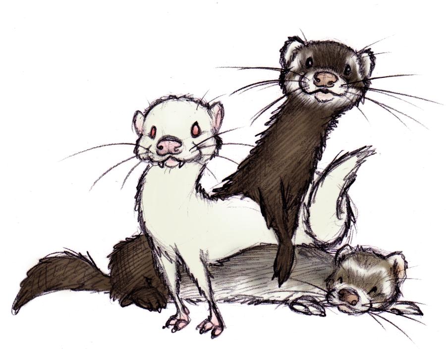 Drawn ferret 115 Pinterest best ShoJoJim by