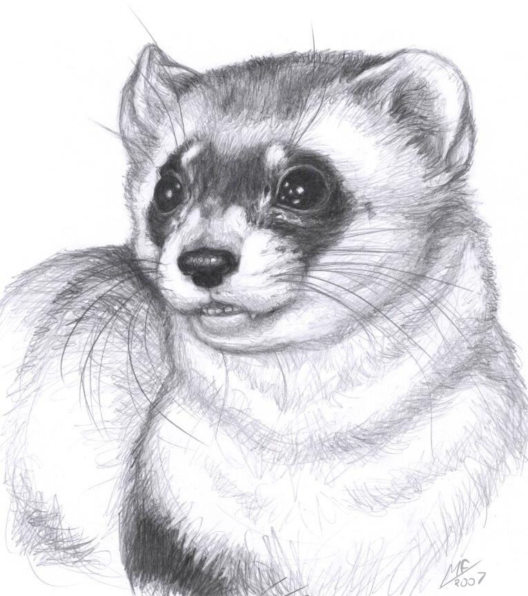 Drawn ferret Ferret on Black Ferret footed
