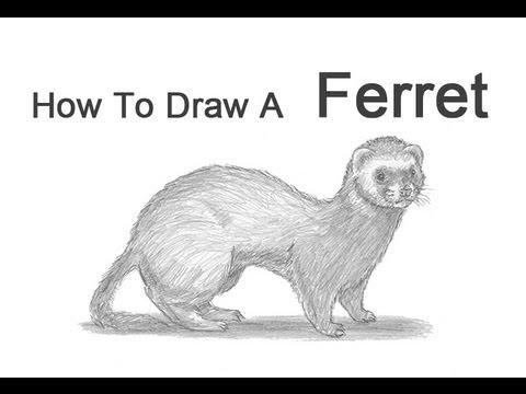 Drawn ferret Ferret: 8 to How a