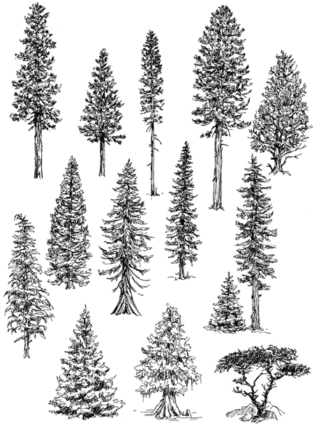 Drawn pine tree #5