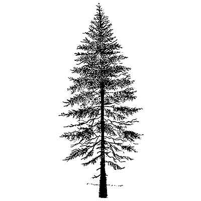 Drawn fir tree According The Person House According