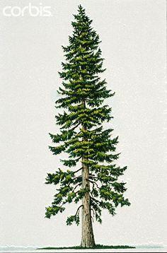 Drawn fir tree Tree Pinterest Douglas Fir white