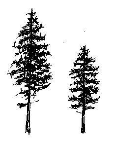 Drawn fir tree Silhouettes Ponderosa pine Medicinal Plants