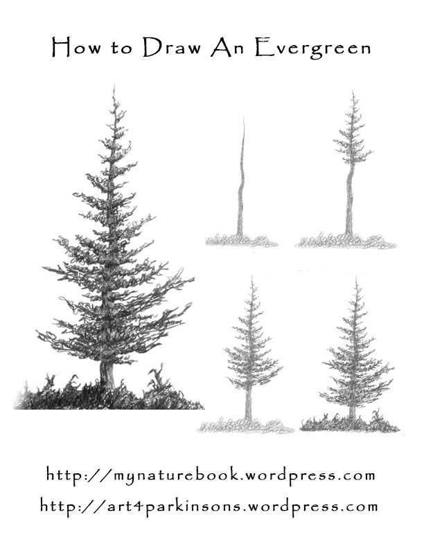 Drawn fir tree Draw DrawEvergreen How Evergreen Trees