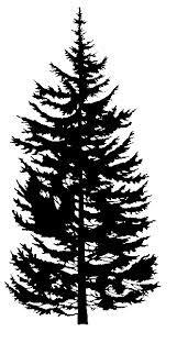 Drawn fir tree Google  douglas douglas &