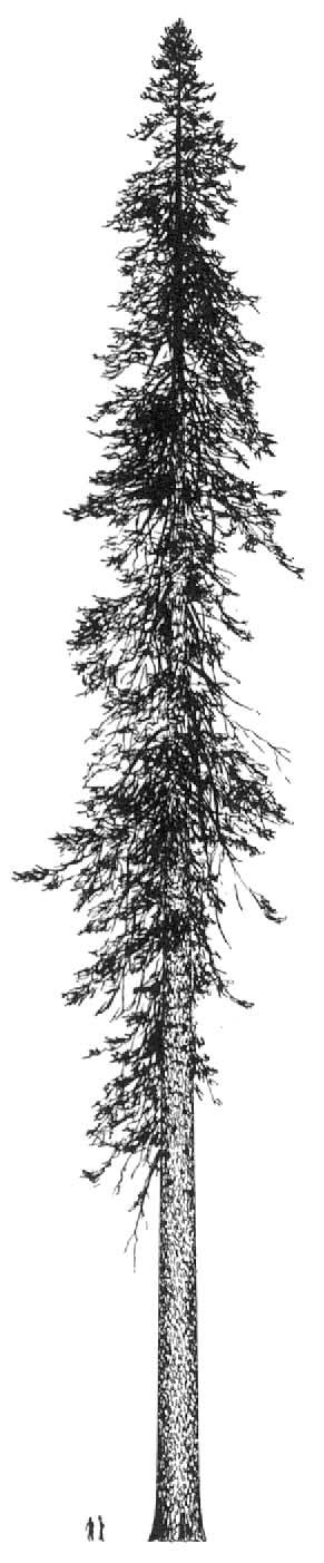 Drawn fir tree Google Pinterest douglas fir fir