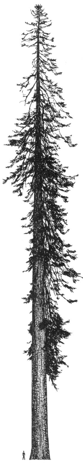 Drawn fir tree Draw fir How Evergreen Trees