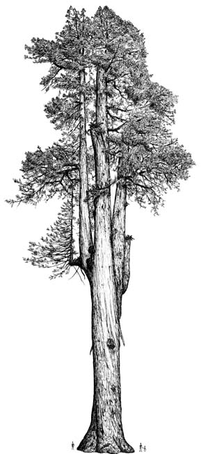 Drawn pine tree huge Description sempervirens redwood) Sequoia drawing