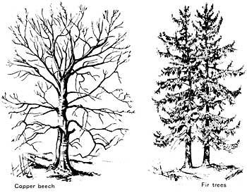 Drawn fir tree line drawing To beech How fir draw
