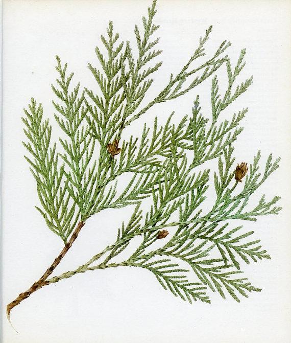 Drawn pine tree vector Plate Pine Cedar Western Cone