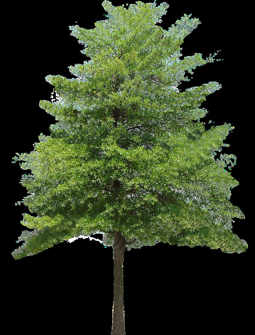 Drawn bush plane tree To species Google texture spruce