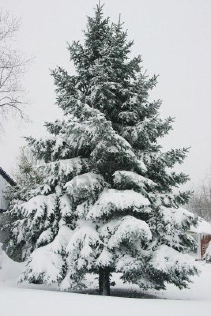 Drawn pine tree winter tree On Majestic Landscapes Drawing Pinterest