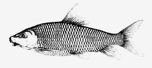 Drawn fish #12