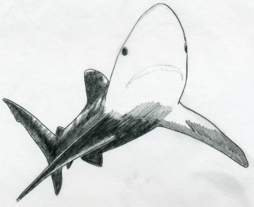 Drawn shark pencil Enlarge Draw image click the