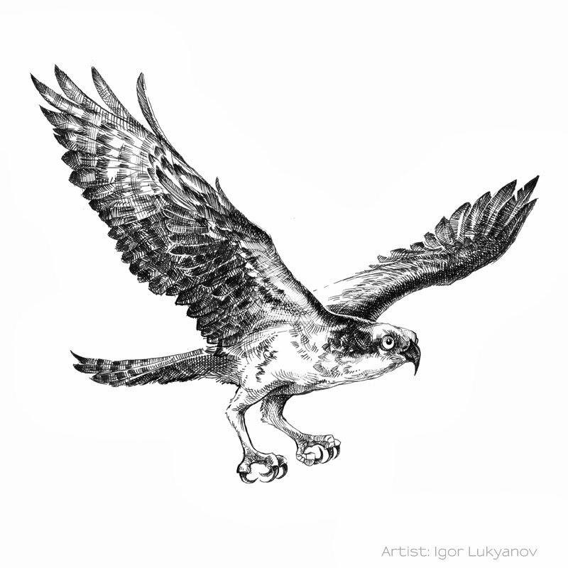Drawn flying This osprey drawn Bird personal