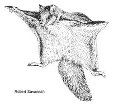 Drawn squirrel mammal Pinterest squirrel Google Flying Charamuche