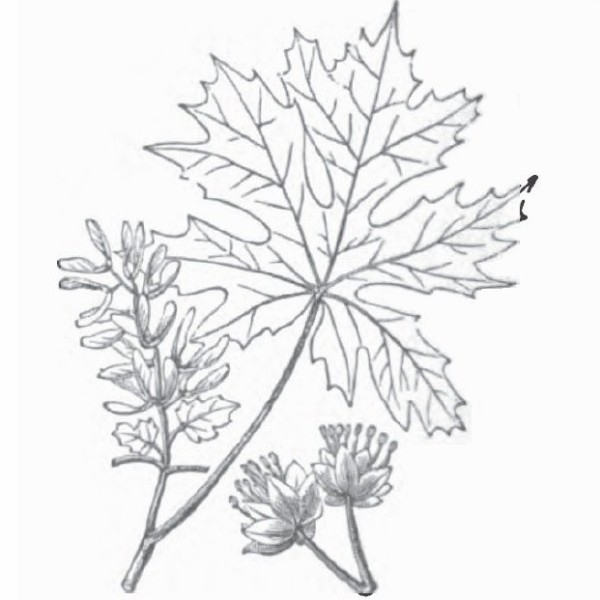 Drawn leaves big leaf maple (Hardwood) The Database Bigleaf Identification