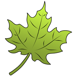 Drawn leaves big leaf maple Leaf  to Draw a