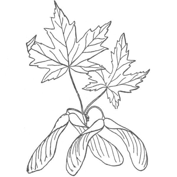 Drawn leaves big leaf maple Database and Maple  Wood