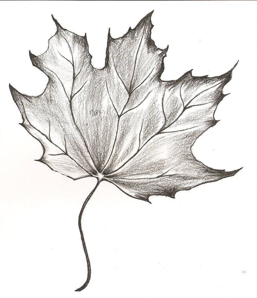 Drawn leaves big leaf maple Drawing DeviantArt Leaf by