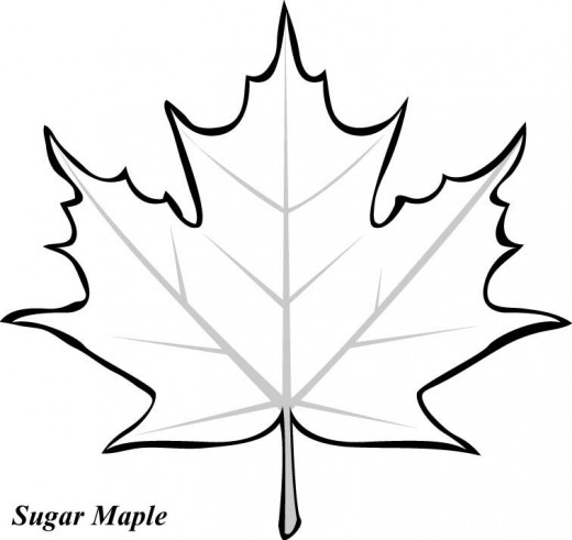 Drawn leaves big leaf maple Printable Pages Leaf Coloring Pages