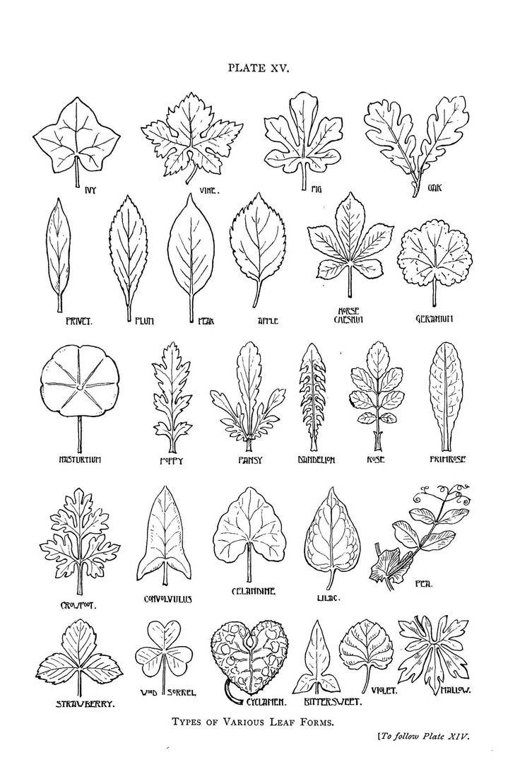 Drawn ivy big leaf #15
