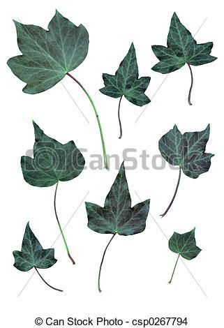 Drawn ivy ivy leaf Ivy A  Drawing Ivy