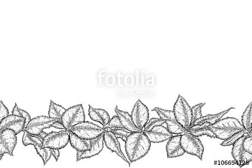 Drawn leaves detailed  border rose foliage Monochrome
