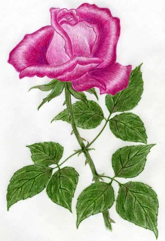 Drawn red rose special Draw Quickly ROSE Own And