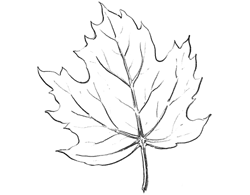 Drawn leaves tonal  Maple Drawing with Leaves