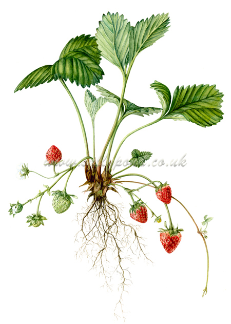 Drawn strawberry strawberry flower Fruit illustration strawberry showing leaves