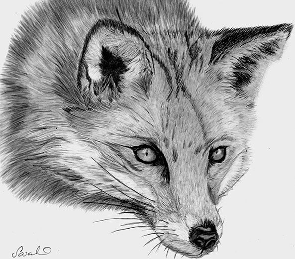 Drawn fox Hand  drawn by Sarahbob2