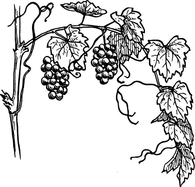 Drawn grapes realistic  Free Pixabay grapes Image