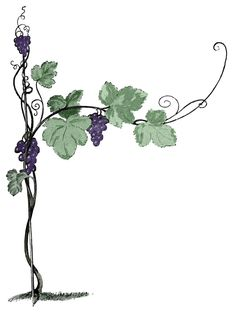 Drawn grapes cluster Vector  Art Grapes Vine