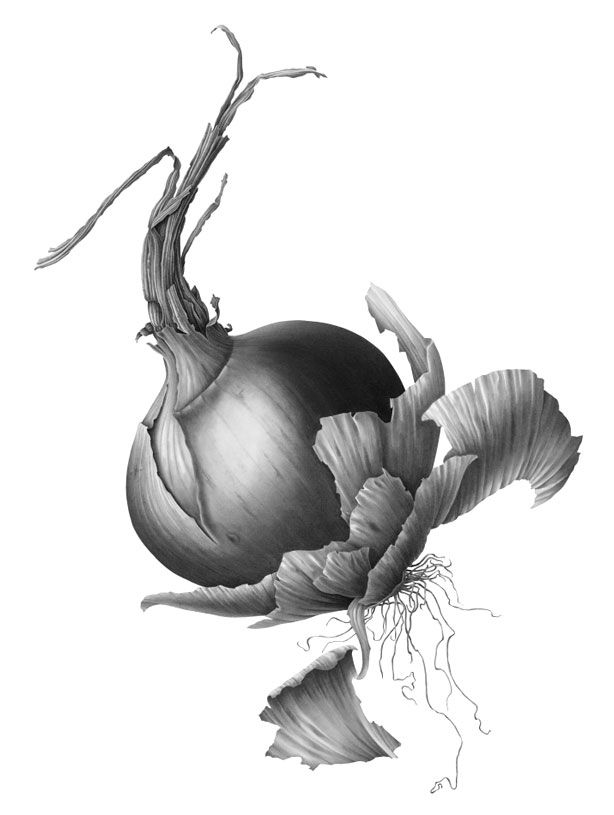 Drawn onion Images ] vegetables  [